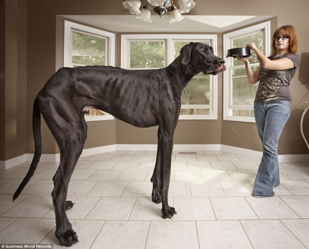 Самая высокая собака датский дог Зевс
