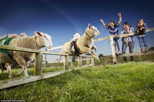 Самая быстрая овца