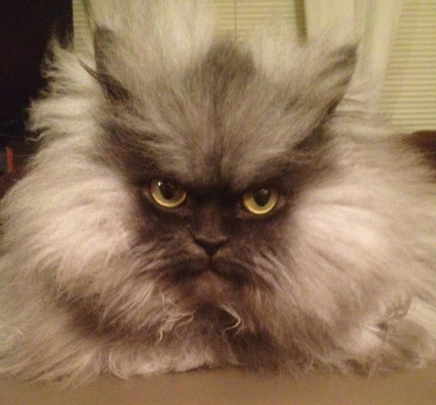 суровый кот Полковник Мяу