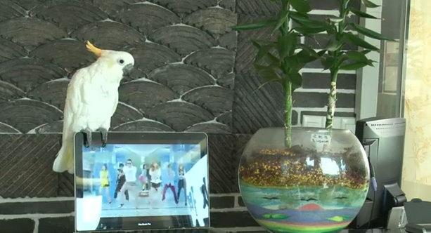 Попугай спел Gangnam style