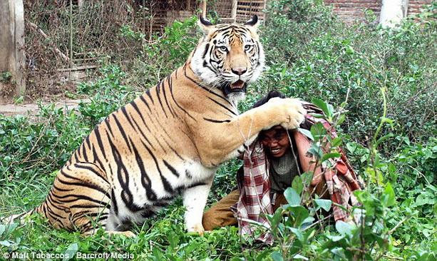 необычная дружба человек и тигр