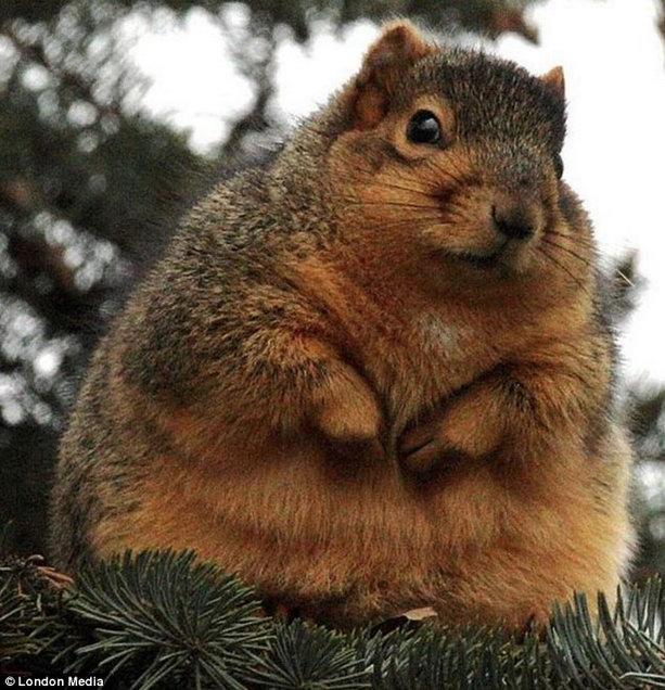 толстая белка