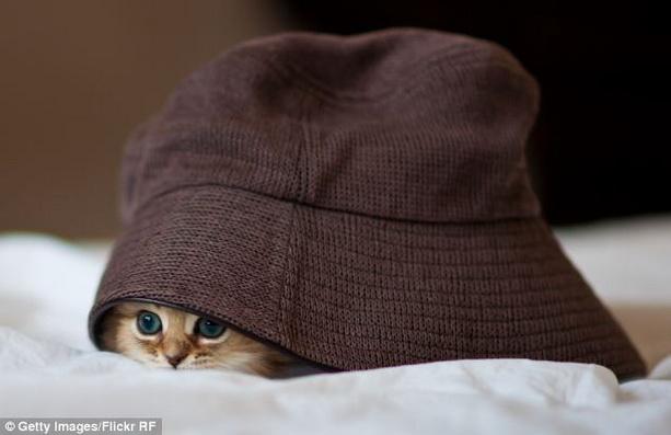 котенок шляпа