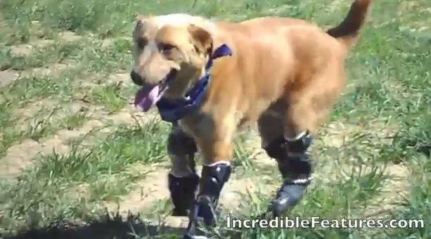 Собака Накио