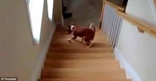 Собака поднимается по лестнице