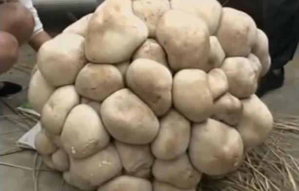 самый большой гриб в мире