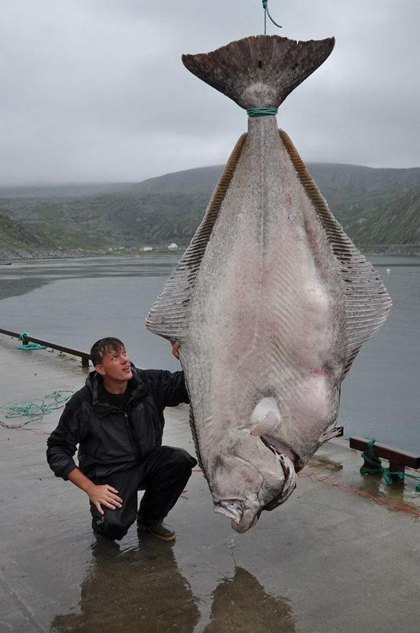 Самый большой пойманный палтус