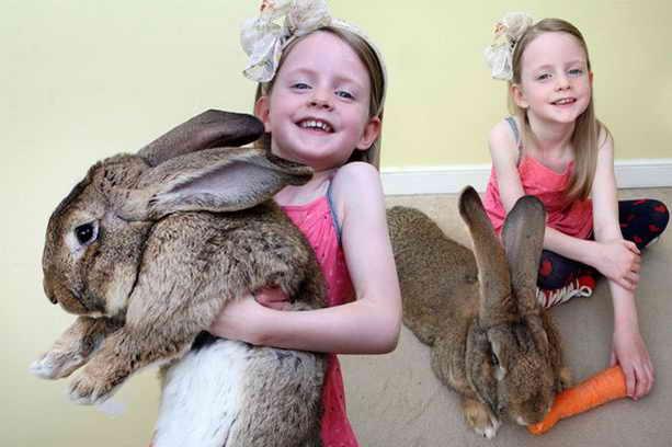 Кролик Дариус, 25 кг