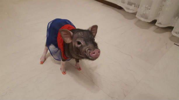 мини-свинка Пухля