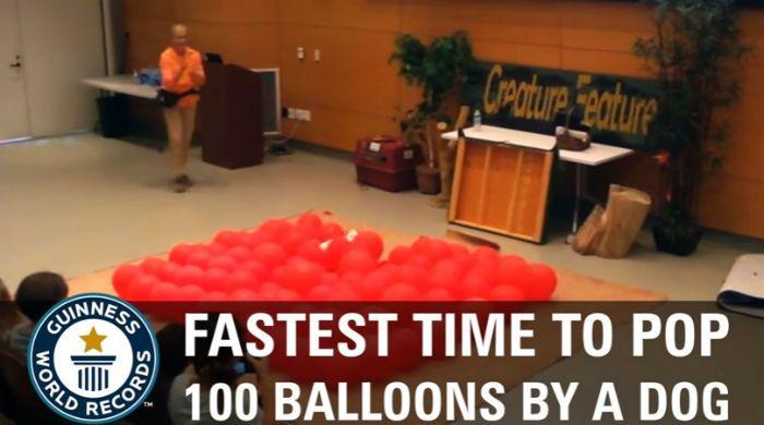 Собака лопает воздушные шарики