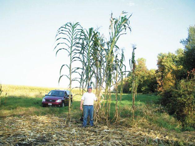 Самая высокая кукуруза