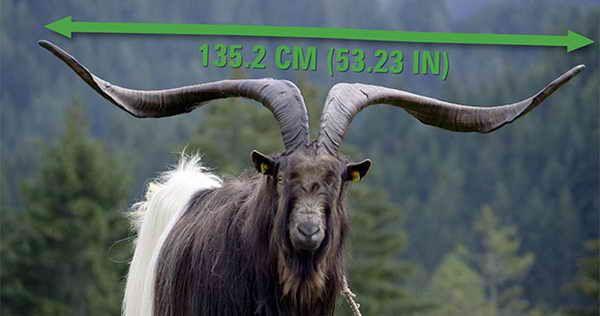Козел Распутин с рогами длинной 135 см