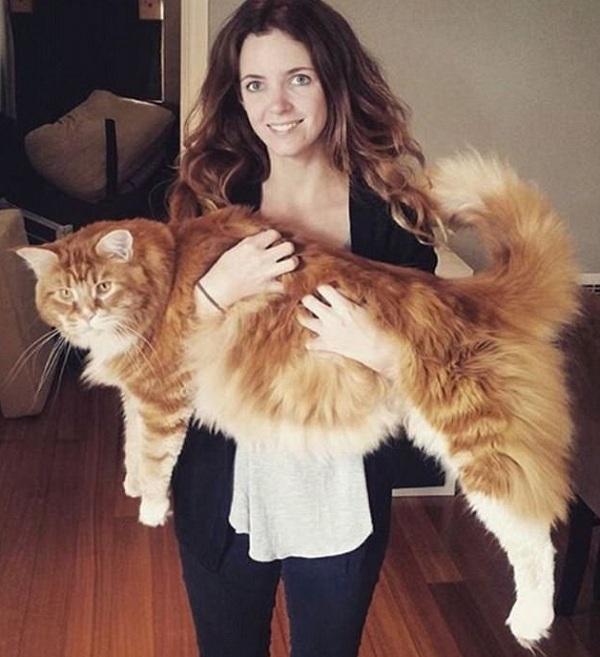самый большой кот в мире мейн-кун