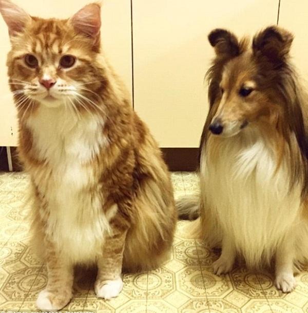 Мейн-кун самый большой кот шелти собака
