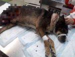 В микрорайоне Верхняя Курья Перми живодеры подорвали собаку