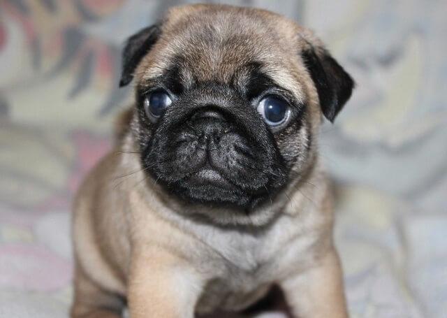 мопс собака пес щенок