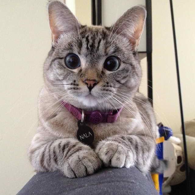 Самая популярная кошка Инстаграм Нала - 4,3 млн. подписчиков