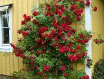 Роза Фламентанц – выращивание и уход